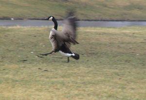 goose-a6