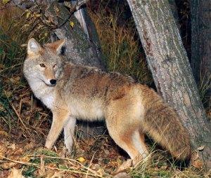 coyote005-004